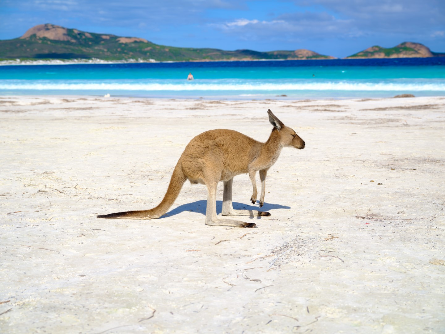 Kangaroo at Lucky Bay, Cape Le Grand National Park. Photo Credit: Tourism Western Australia